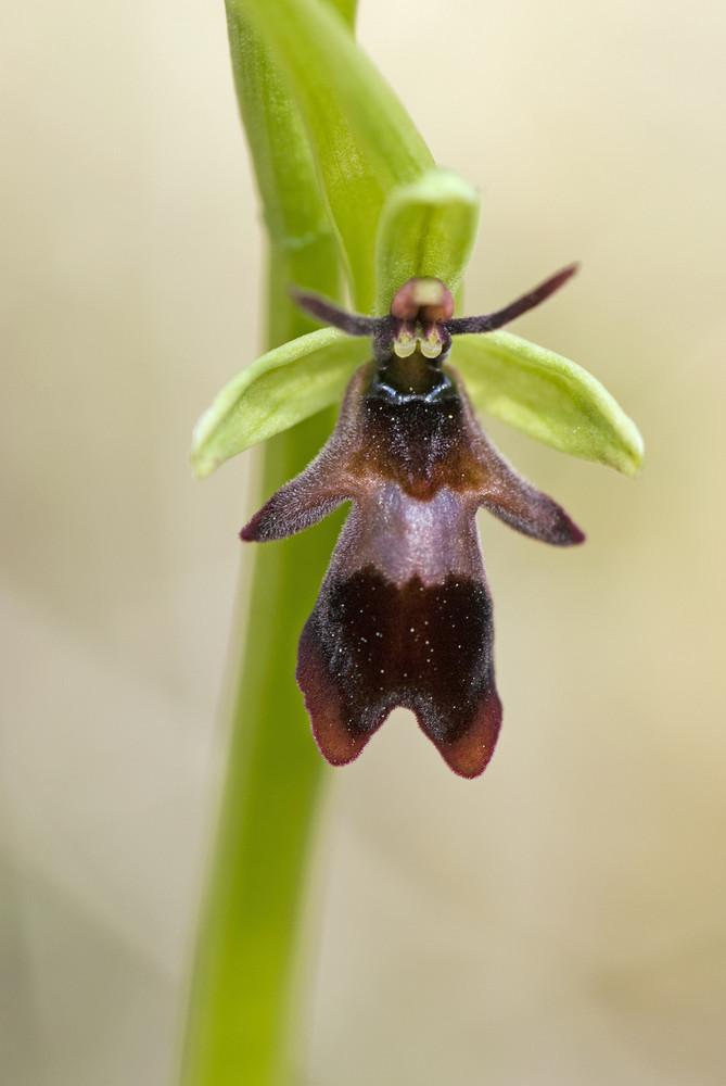 fliegen ragwurz ophrys insectifera foto bild pflanzen pilze flechten bl ten. Black Bedroom Furniture Sets. Home Design Ideas