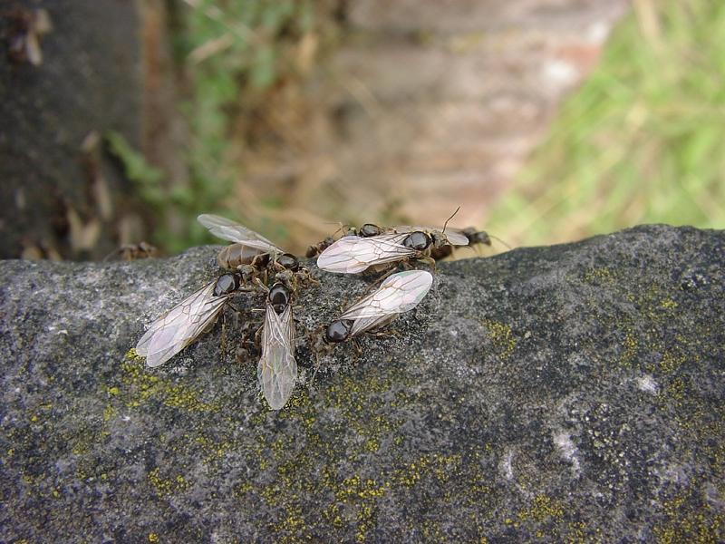Fliegende Ameisen Töten