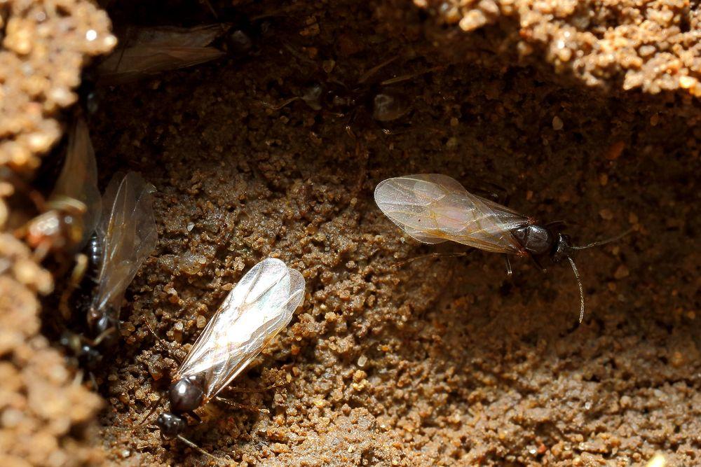 Fliegende Ameisen