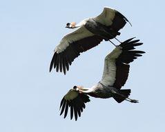 Fliegende Kronenkraniche als Duo