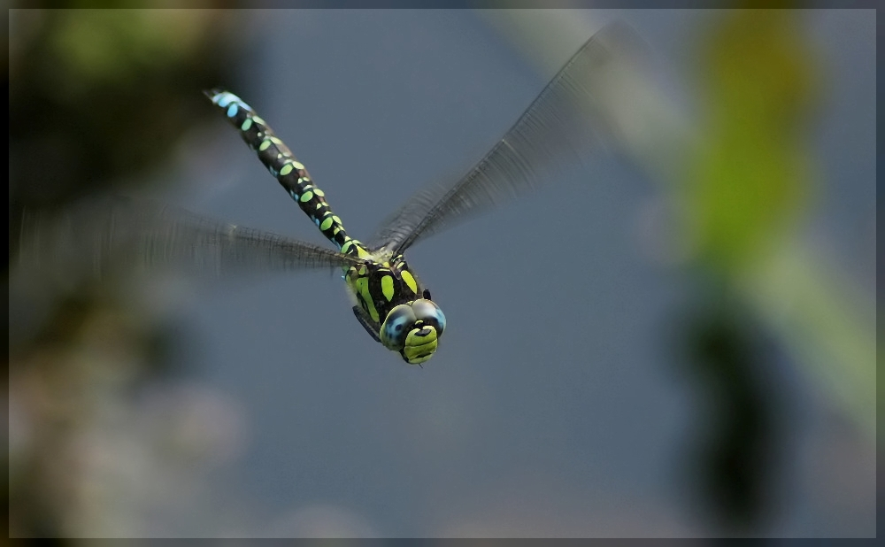 fliegende Mosaikjungfer
