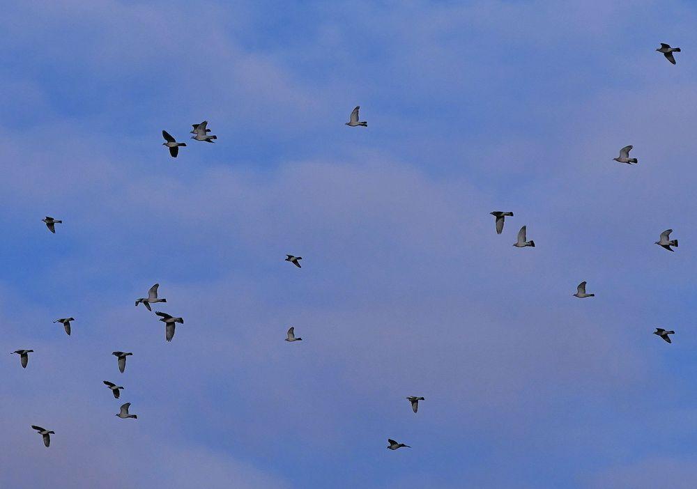 Fliegende Ringeltauben