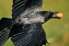 Fliegende Walnuss mit Krähe (Nahaufnahme)