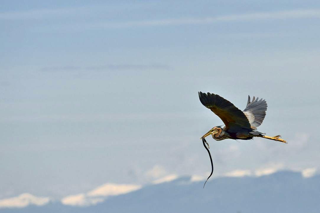 Fliegende Würfelnatter