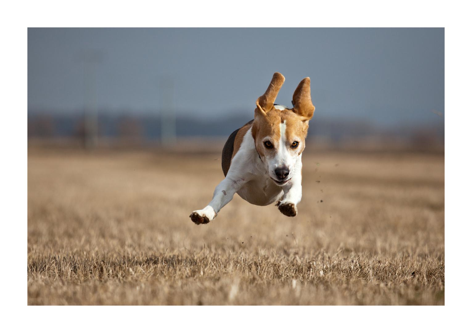 Fliegender Beagle ...