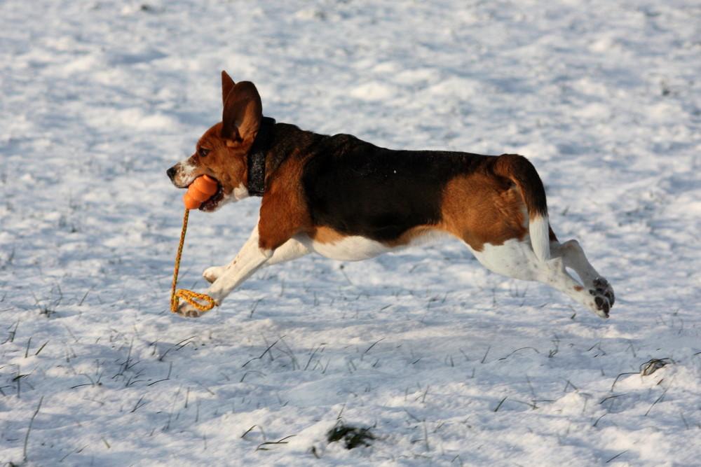 Fliegender Beagle