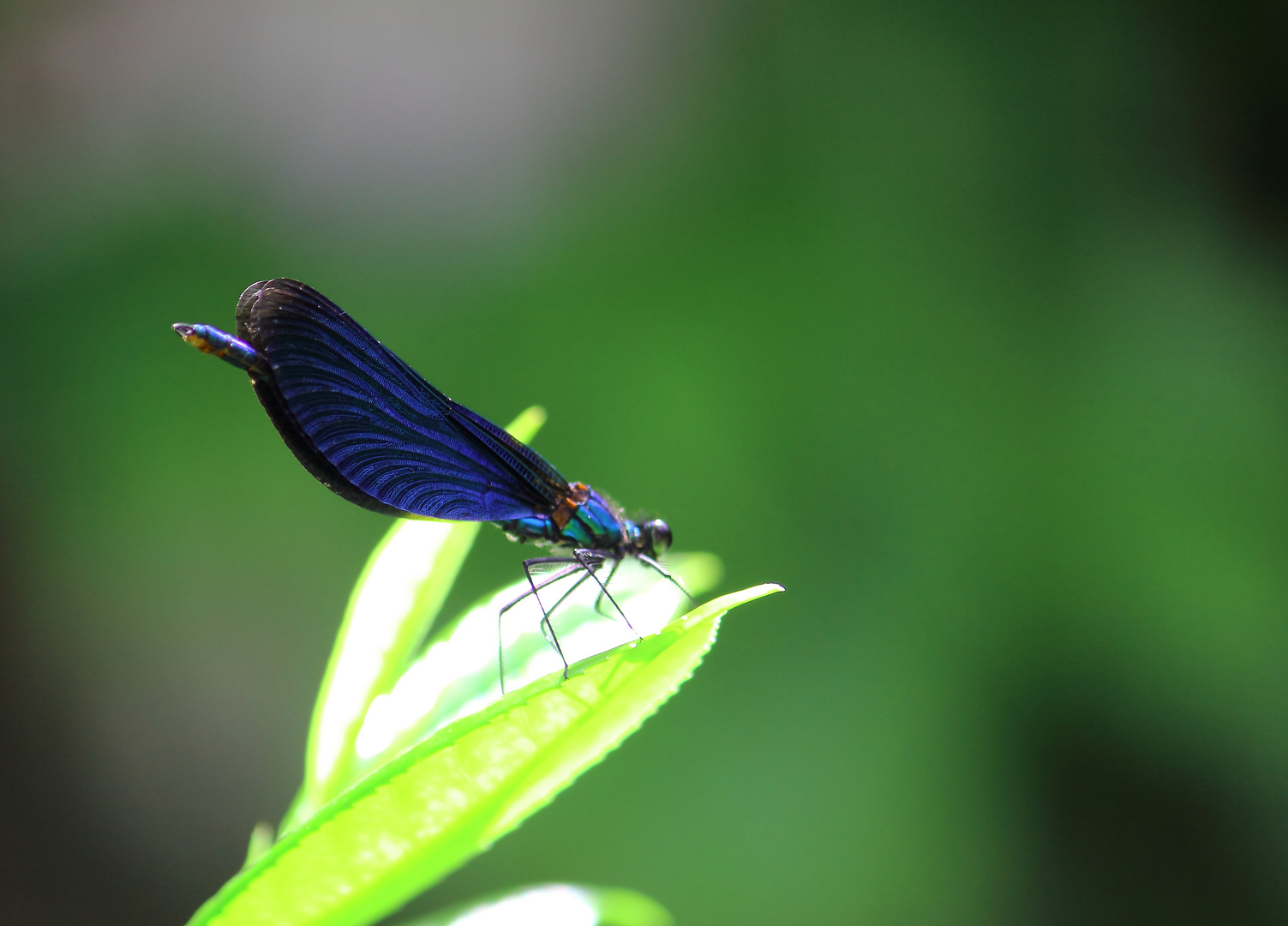 fliegender Edelstein