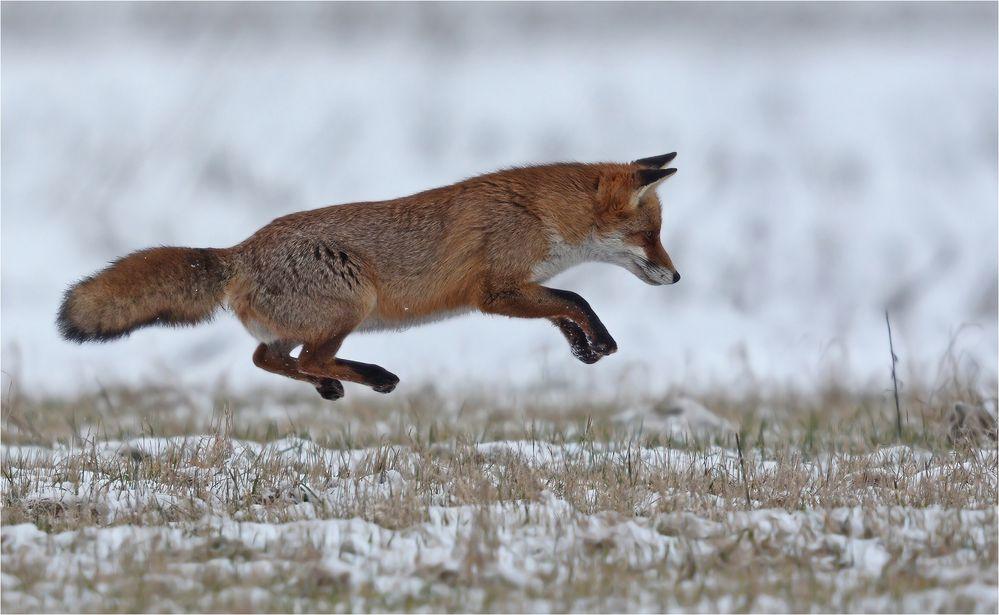 Fliegender Fuchs