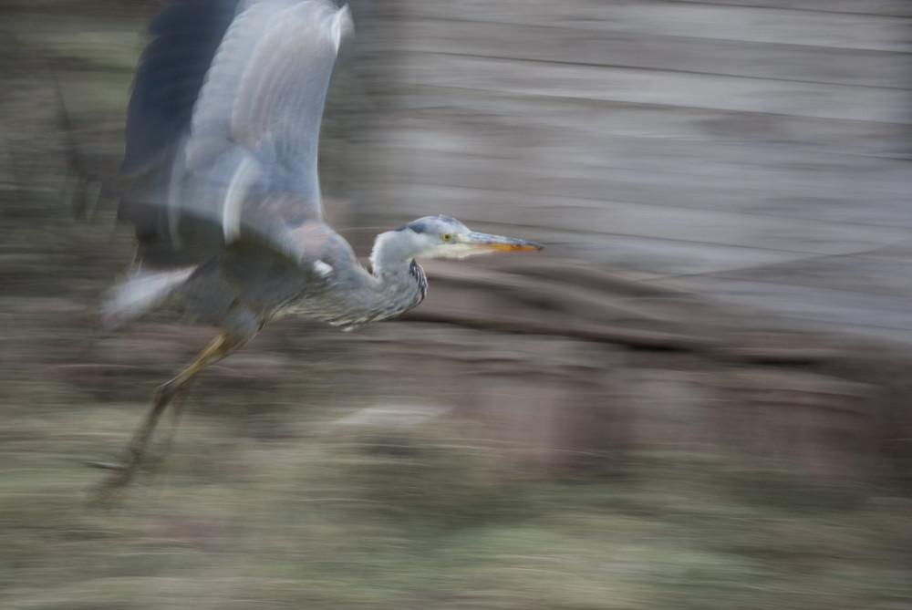 fliegender Graureiher
