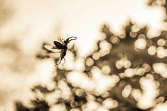 Fliegender Hirschkäfer