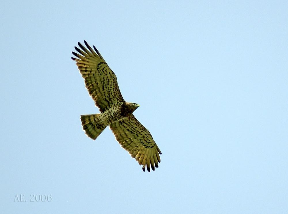 Fliegender Schlangenadler