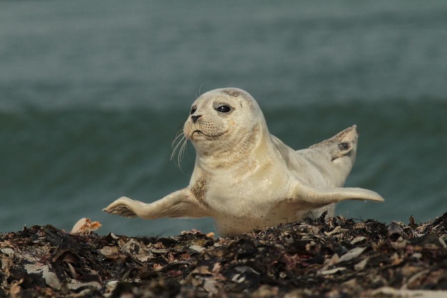 Fliegender Seehund