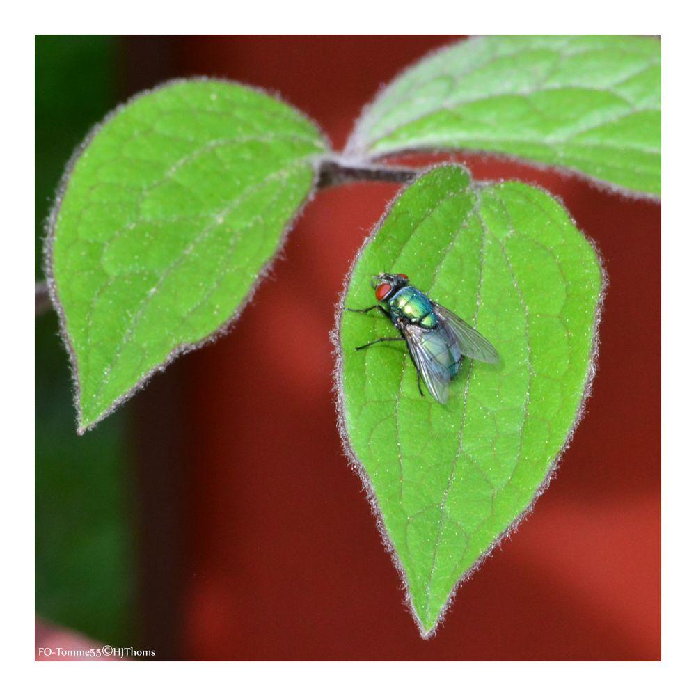 Fliegengrün