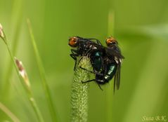 Fliegenliebe