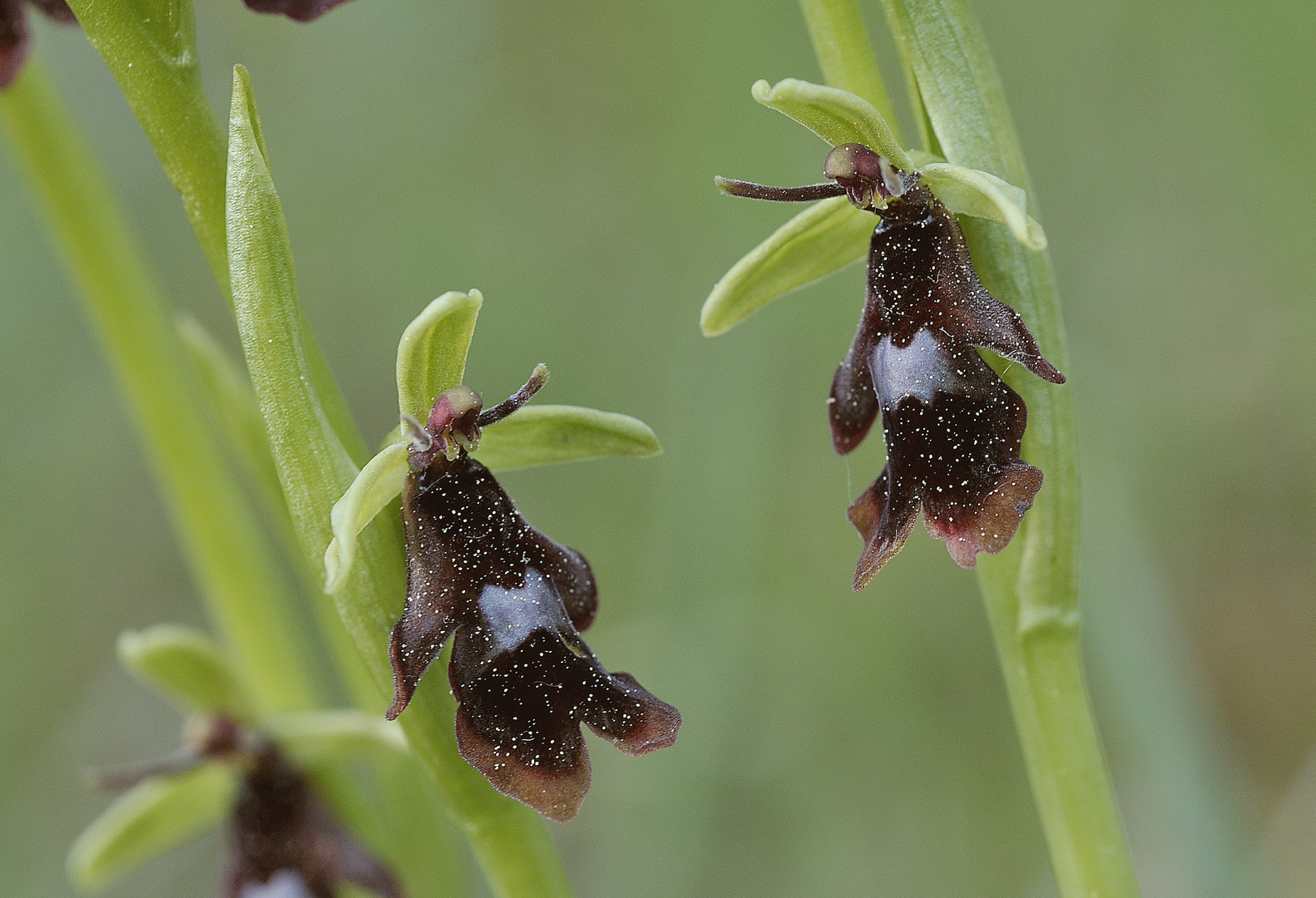 Fliegenorchis - Ophrys insectifera