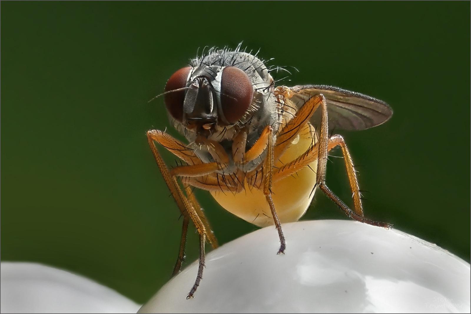 Fliegenpilz II