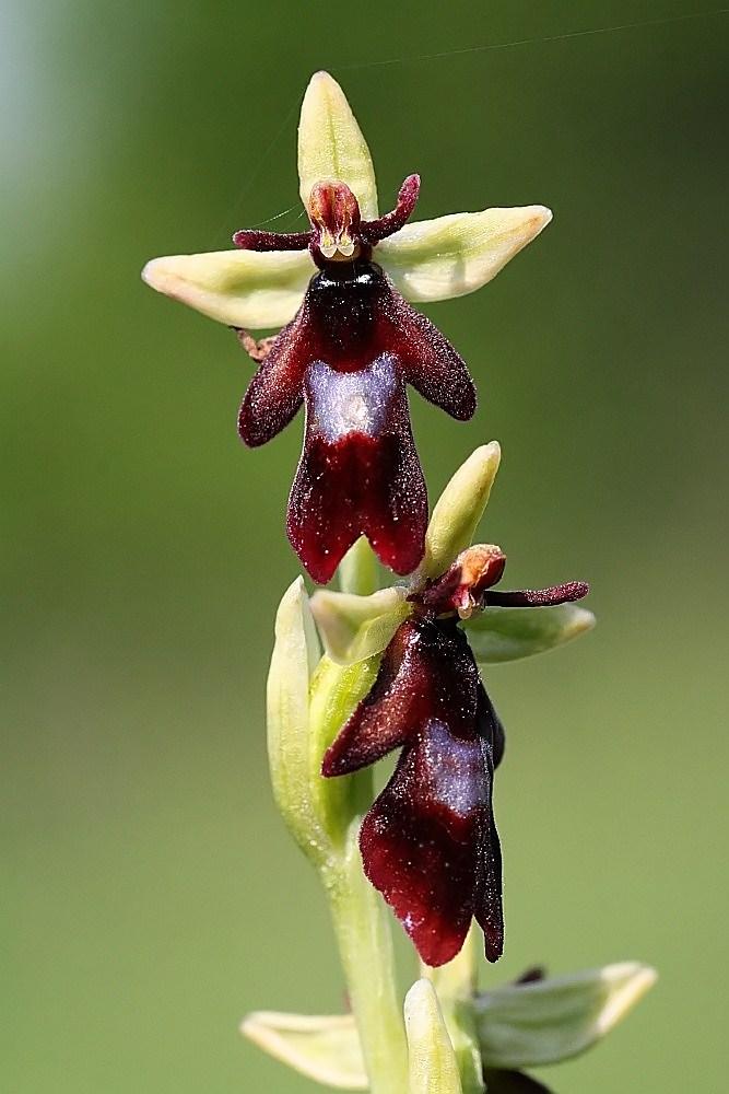 Fliegenragwurz (Ophrys insectifera)...