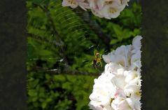 Fliegenschmaus einer Spinne bei Schneeballen
