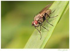 Fliegenspucke