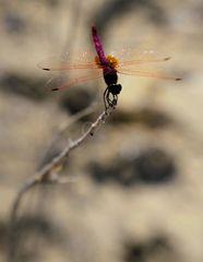 fliegtier