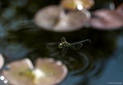 - Flight of the Dragonfly -