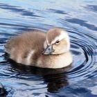 Flightless Steamer Duck Young