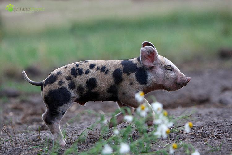 Flitzeschwein