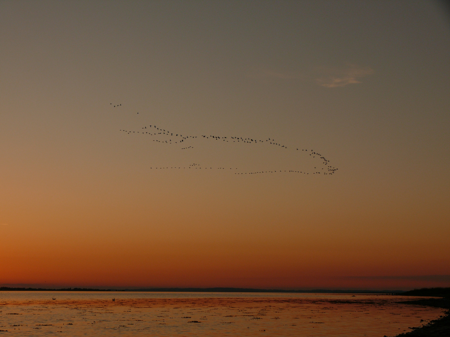 flock of geese in the sunset