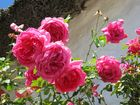 Flock Of Roses