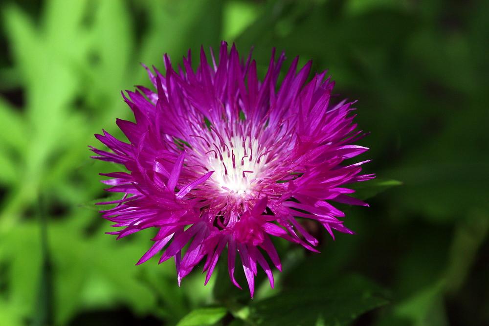 Flockenblume
