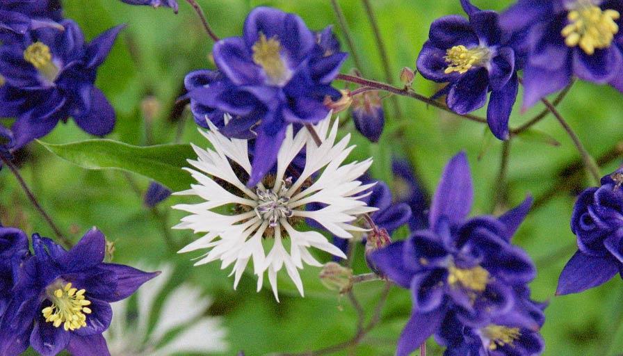 Flockenblume zwischen Akeleien