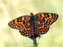 Flockenblumen-Scheckenfalter - Melitaea phoebe