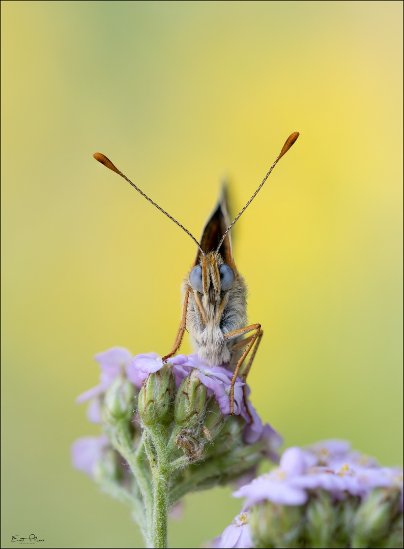 Flockenblumen-Scheckenfalter (Melitaea phoebe)