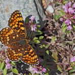 Flockenblumen-Scheckenfalter (Melitaea phoebe) - La Mélitée des centaurées.