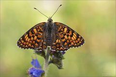 Flockenblumen-Scheckenfalter vor dem Abflug....