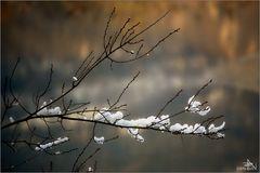 Flocons sur la branche