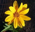 Flor Amarilla 2