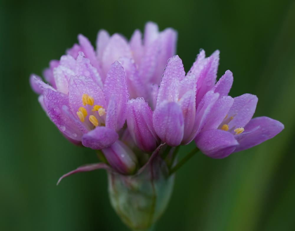 Flor con rocio, para Anna Serrat