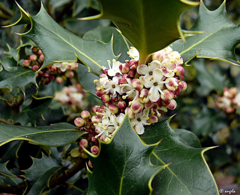 Flor de acebo