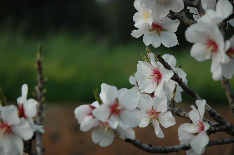 Flor de Almendro-9