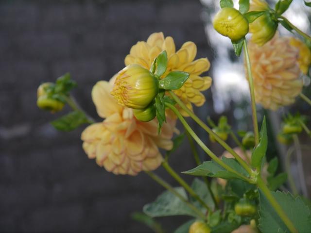 Flor de amancay