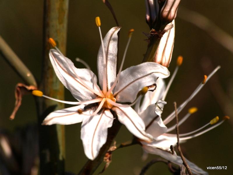 Flor de asfódelos