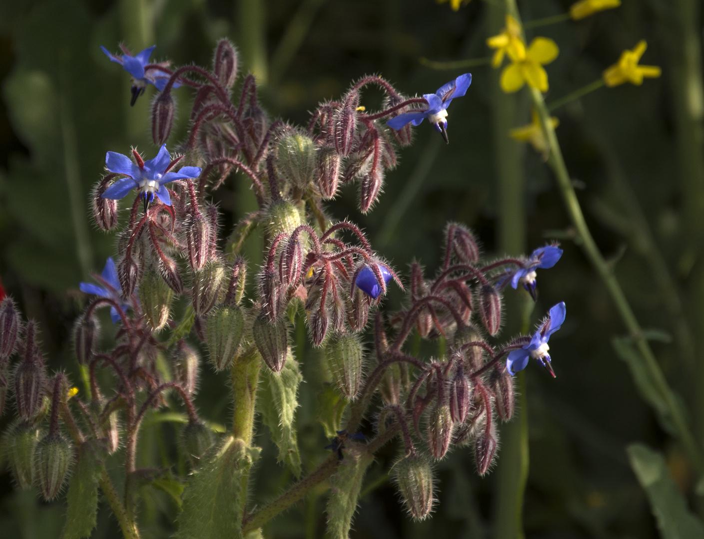 Flor de borratja