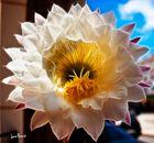 Flor de cactus (4)