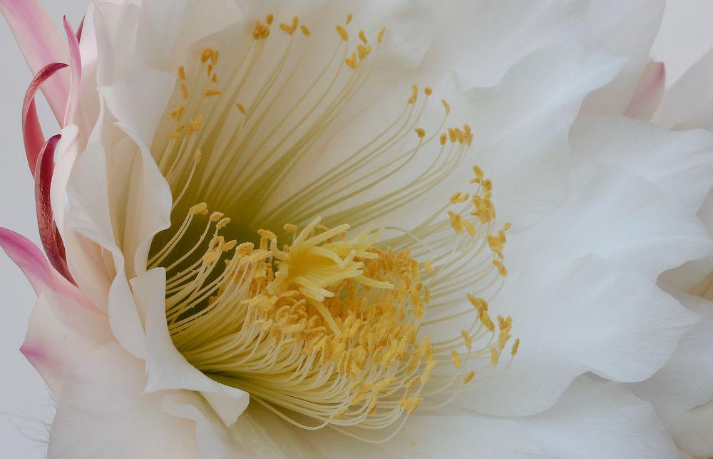 Flor de cactus de Loles Sánchez