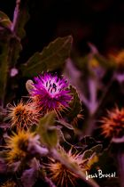 Flor de cactus (II)