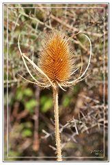 Flor de Cardo seco I