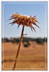 Flor de Cardo seco II