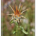 Flor de Cardo seco III