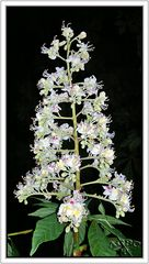 Flor de Castaño